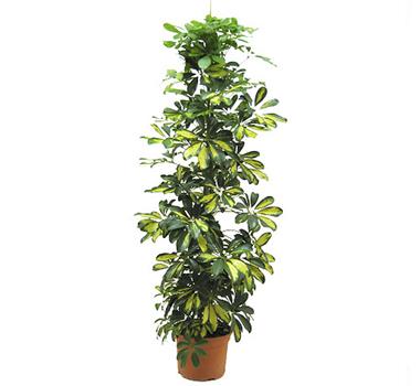 Planta SCHEFLERA